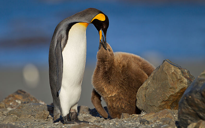 Antarctic king penguin feeding young shutterstock 369875588 opt