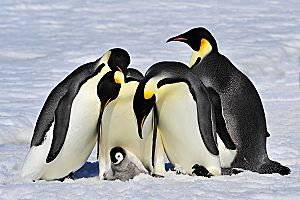Antarctic Emperor Penguins 4 Adults 1 Baby Fotolia 27466894 Subscription L opt