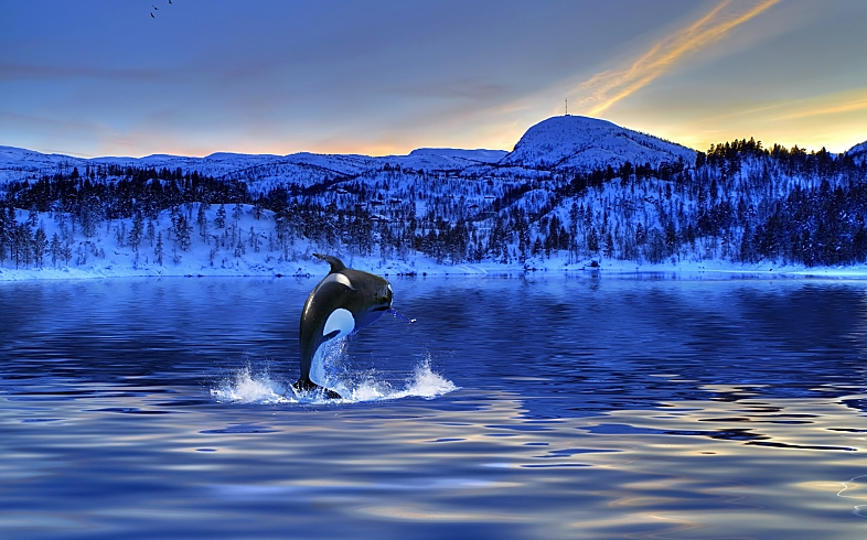 Arctic Norway Orca Jumping Perfect Fotolia 29386401 Subscription L Copy opt