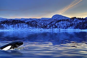 Norway orca breaching low shutterstock 73343089 opt