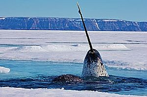 narwhal alone from web opt