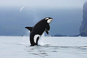 x Orca jumping cold water shutterstock 90342433 opt
