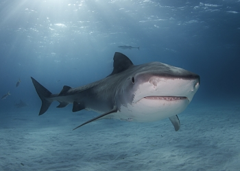 Bahamas Tiger Shark Smile