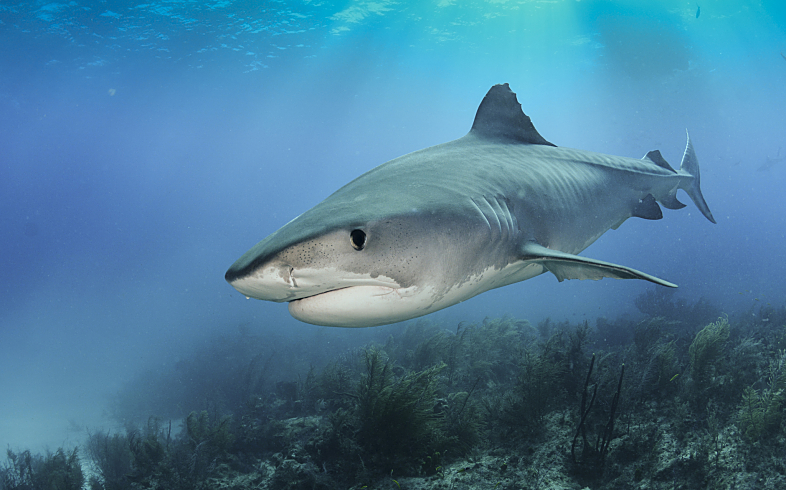 Bahamas Tiger Shark Close Ethereal shutterstock 235170895 opt