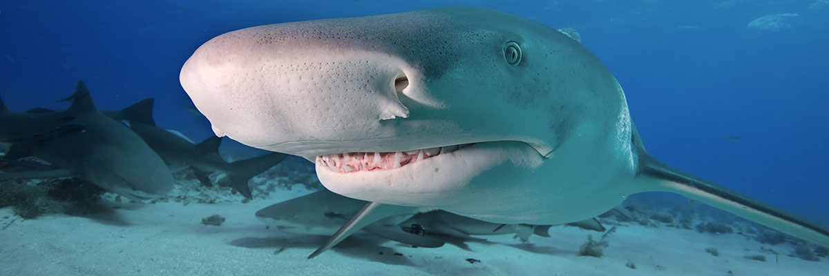 bahamas lemon shark