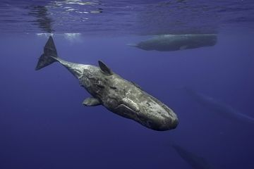Sperm Whales at Dominica