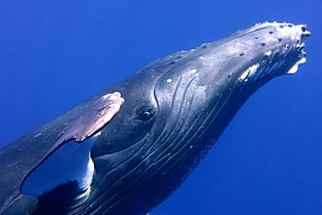 Humpback Face Close shutterstock 167931842b opt