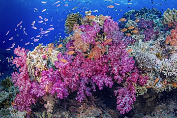 Fiji bright purple soft coral shutterstock 342154679 opt