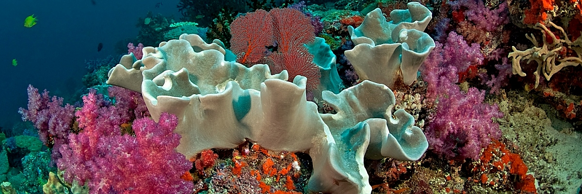 Fiji soft corals soft colors opt