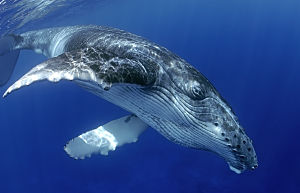 Tahiti humpback face close shutterstock 304515521b opt