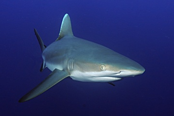 Tahiti Reef Shark Turning rangiroa Fotolia Copy