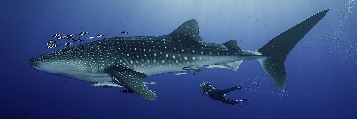 Galapagos Whale Shark Photographer Below Sun Rays