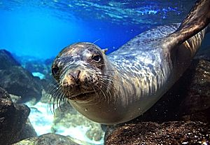 Galapagos sea lion underwater lookin atcha shutterstock 147144572 opt