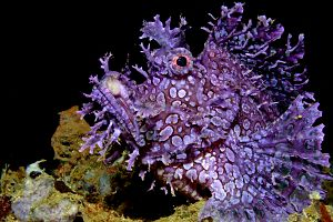 Indonesia Ambon purple weedy scorpionfish shutterstock 1210727578 opt