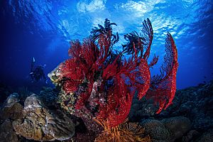 Indonesia Bali striking red coral shutterstock 443832676 opt
