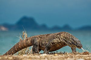 Indonesia Komodo dragon sea island bkgrd shutterstock 440404609 opt