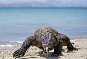 Indonesia Komodo Dragon on Beach Tongue Out