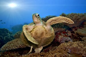 Malaysia Mabul Turtle in Seafan Tone on Tone shutterstock 60478204 Copy