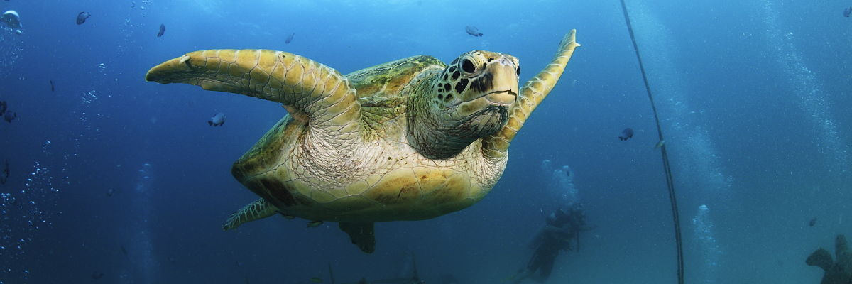 Malaysia Mabul Hawkbill Turtle Divers Structure shutterstock 160049018 opt