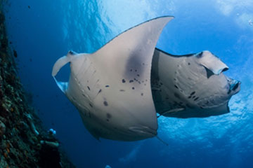 360 x 240 maldives 2mantas at cleansing