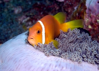 Maldives Anemone Fish Purple Surround