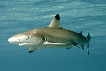 Maldives Blacktip shark