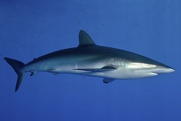 Malpelo Silky shark opt 360x240