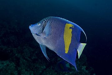 Oman Arabian angelfish shutterstock 326092883 opt