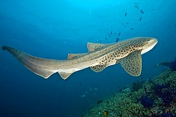 Oman leopard shark beauty shutterstock 319303841b opt