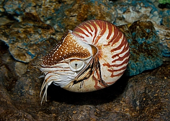 Palau Chambered Nautilus near Reef