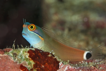 PNG Colorful Blenny Copy