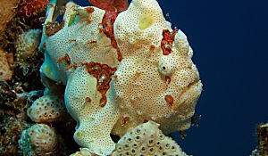 RS painted frogfish shutterstock 73959919 opt