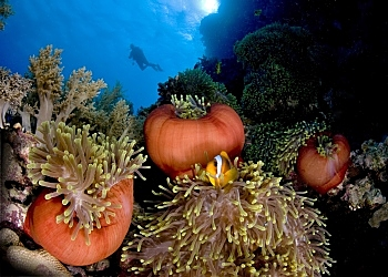 RS Multiple Anemones Diver Backgrnd