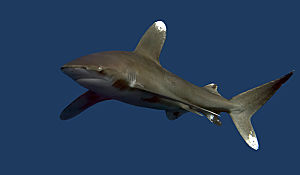 RS Oceanic Whitetip CLEAR dreamstime m 31735934 opt