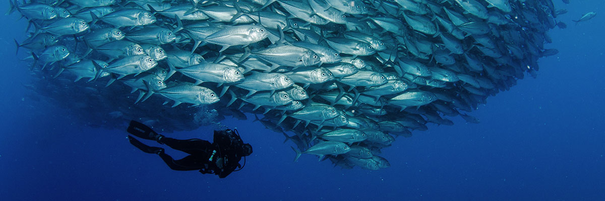 sea of cortez baitball and diver