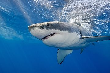 Guadalupe great white close clear shutterstock 427555444 opt