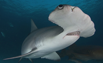 Hammerhead close shutterstock 256961548 opt1