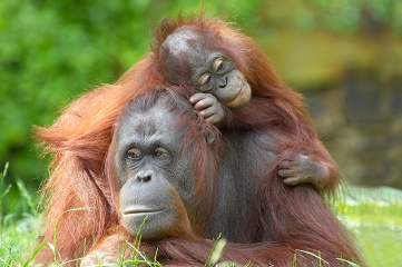 Indonesia Kalimantan Orangutan Mum Babe large dreamstime xl 2541678 Copy