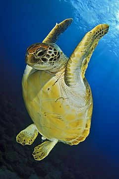 Maldives Green Turtle Jumpin Dowonshutterstock 235428577 opt
