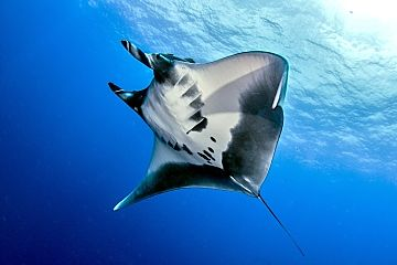 Socorro flying manta solo shutterstock 472235209
