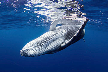 Humpbacks Mother Calf Crossing Beneath Costa Rica shutterstock 110290004 opt
