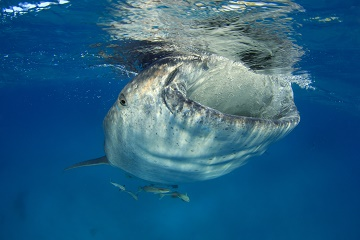 Whale shark clear water feeding shutterstock 184425674