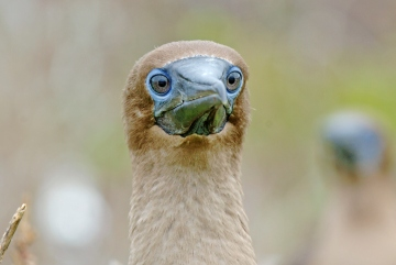 galapagos juvy booby wow shutterstock 141865234b