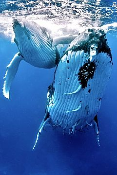 tonga humpback mother calf vert shutterstock 384104386 opt