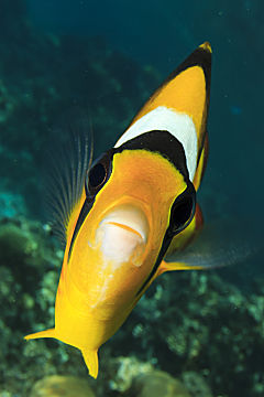 x butterfly fish face on shutterstock 183329246 opt