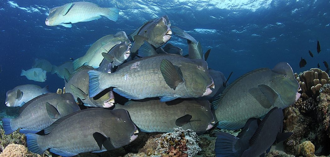 Indonesia bumphead parrotfish around hard coral shutterstock 401092828b opt