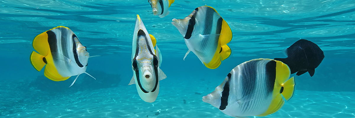 Tahiti scattered butterflyfish shutterstock 419544154 opt