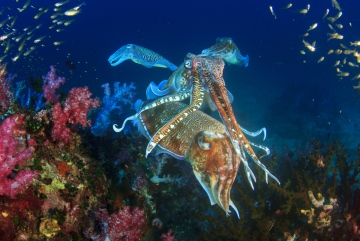 Thailand ethereal shot pharoah cuttlefish pair shutterstock 342517703 Copy