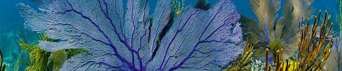 Caribbean purple coral shutterstock 143951539 opt