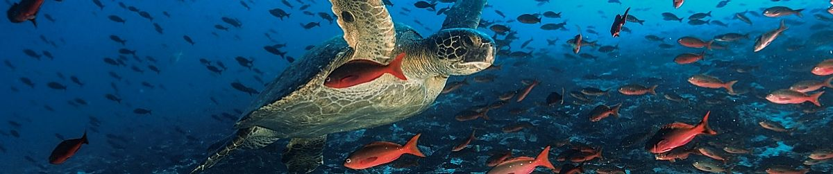 Galapagos turtle flying creole fish shutterstock 261579551 opt